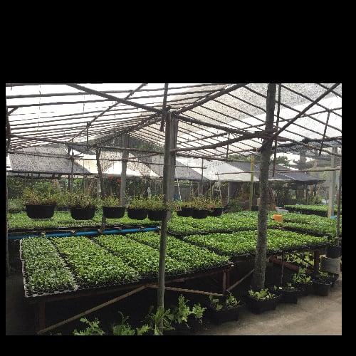 ต้นกล้าพืชผักสวนครัว
