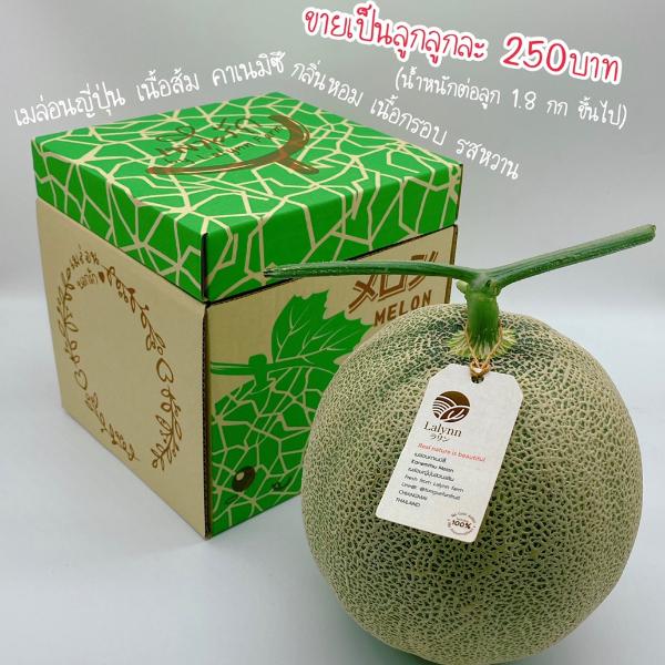 เมล่อนญี่ปุ่นพันธ์คาเนมิซึ เนื้อส้ม หวาน กรอบ สดจากฟาร์มลลิน ปลูกแบบปลอดสาร(GAP) ขายเป็นลูก ลูกละ 250 บาท