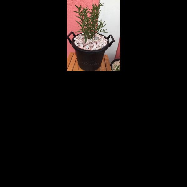 ต้นโรสแมรี่ สมุนไพรฝรั่ง