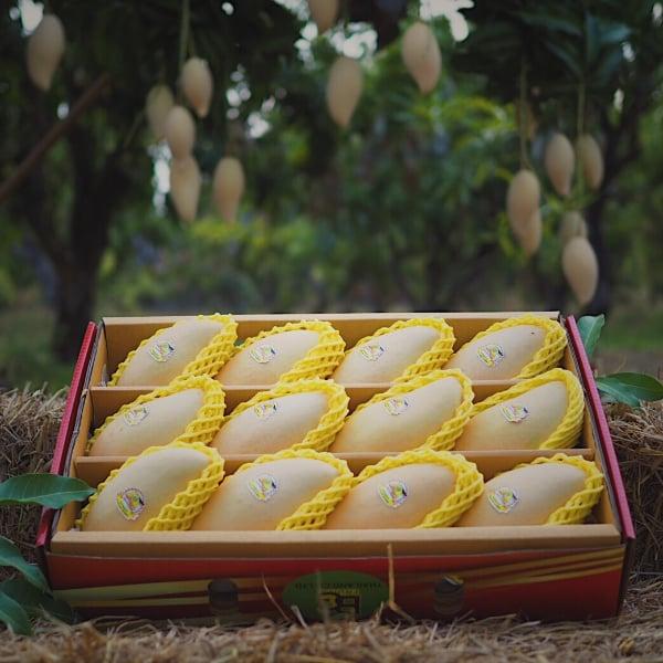 มะม่วงน้ำดอกไม้สีทอง คัดพิเศษ 5 กิโลกรัม บ้านวังทับไทร จ.พิจิตร